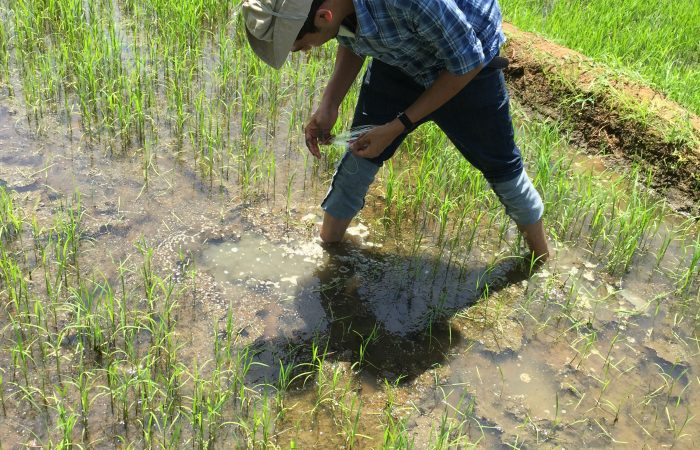 Sudeera placing samplers in rice paddies